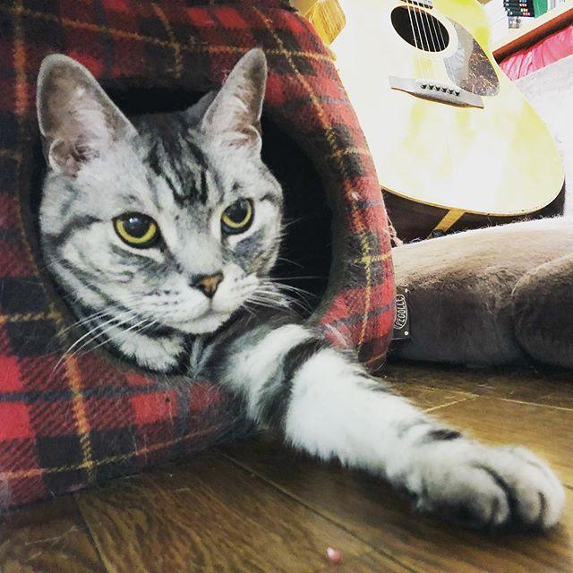 今日のショーちゃん #cat #ネコ