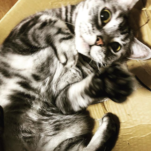 どっからでもかかってこんかい #cat #ネコ